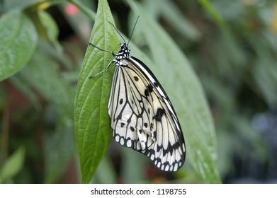 Butterfly on a leaf macro