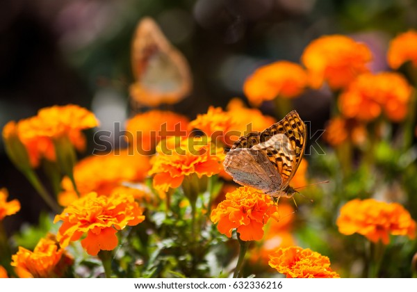 Butterfly on marigold.