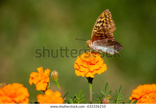 Butterfly on marigold. Copy space.