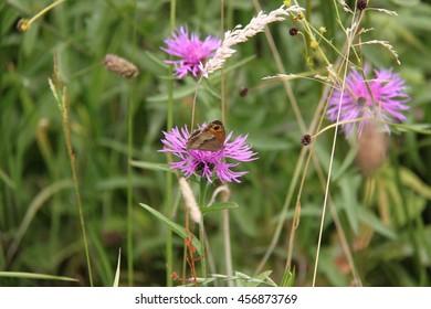 butterfly on meadow flower