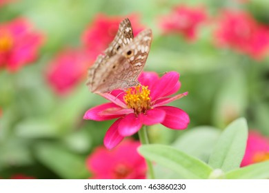 butterfly on a mexican sunflower