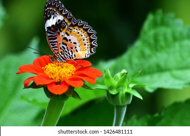 Butterfly on a mexican sunflower. In the garden. Tithonia rotundifolia Gray