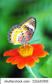 Butterfly on Orange Mexican Sunflower isolated on green natural background