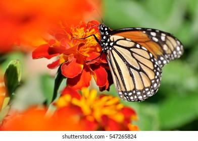 Butterfly on a orange/ red flower.