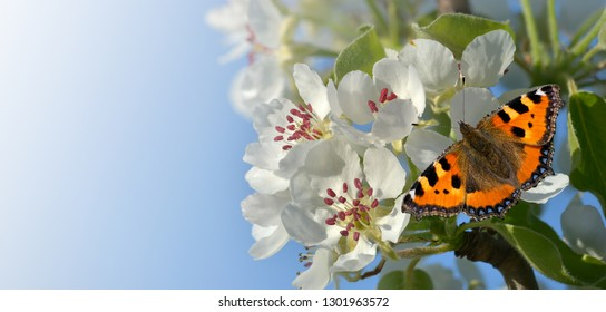 Butterfly on pear blossom as a banner