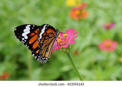 Butterfly on pink zinnia.