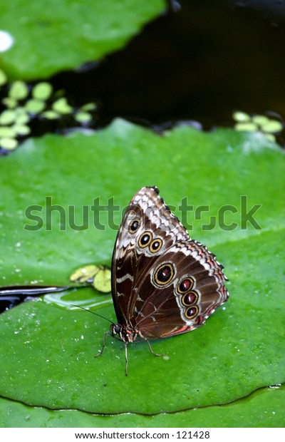 butterfly on pond
