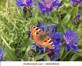 Butterfly on Purple Wild Flowers, Seaton Carew, Hartlepool, North East England, UK