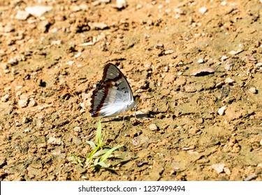 Butterfly on selective focus; the Indian Purple Emperor rests on the ground in the forestry mountainous area of Chiang Dao in Chiang Mai, Thailand, Asia with background blurred.