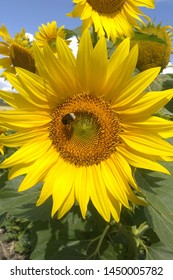 Butterfly on a sunflower. Sunflower on a sunny day.  Yellow sunflower, blooming sunflower