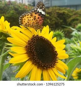 butterfly on sunflower in urban scene tokyo