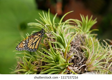 Butterfly on a tillandsia or air plant