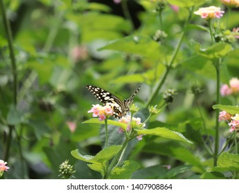 butterfly on weeping lantana flower.