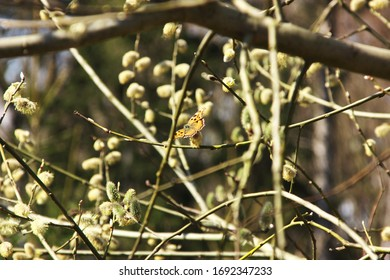 Butterfly on a willow catkin in the sunshine