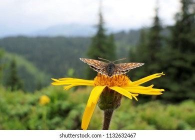 butterfly on yellow arnica - ready to start
