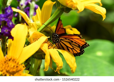 butterfly on yellow flower, photo as a background ,taken in Arenal Volcano lake park in Costa rica central america