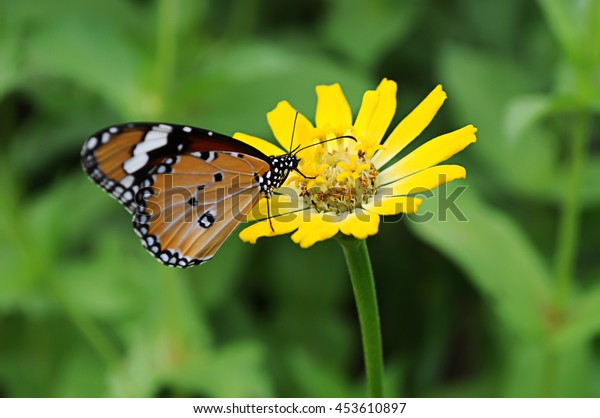 Butterfly on yellow zinnia flower.