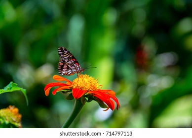 Butterfly on a zinnia elegans flower near Manizales, Colombia