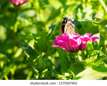 butterfly on zinnia flower in garden under sunshine