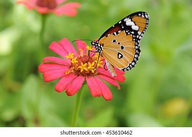Butterfly on zinnia flower in garden.