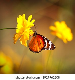 Butterfly Orange Tiger or Danaus chrysippus on pink globe amaranth flower with blurred yellow bokeh background