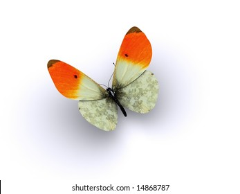 A butterfly with orange wing tips