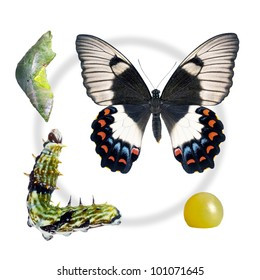 Butterfly - Orchard Swallowtail, Papilio Aegeus, life-cycle stages