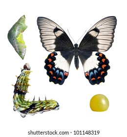 Butterfly, Orchard Swallowtail, Papilio Aegeus, life-cycle stages