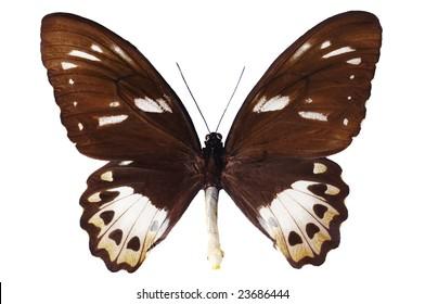 Butterfly Ornithoptera priamus female on white