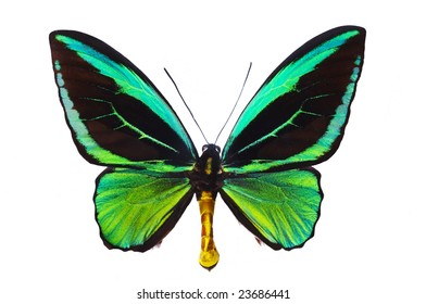Butterfly Ornithoptera priamus male on white