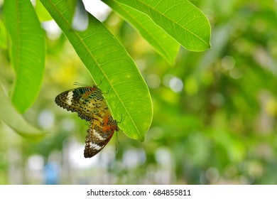 Butterfly pairing and breeding on the leaves.