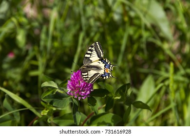 Butterfly - Papilio machaon, the Old World swallowtail - on a pink flower in the meadow; Imago with yellow wings, black vein markings and with a red eye spot at the end of the tails.