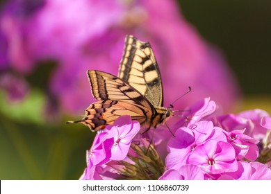 Butterfly (Papilio machaon) is sitting on pink phlox flower.