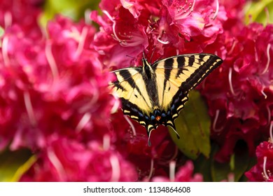 A butterfly, papilio multicaudata, on bright pink rhododendrons in Seaside, Oregon.
