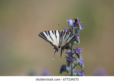 butterfly Papilionidae (Iphiclides podalirius)