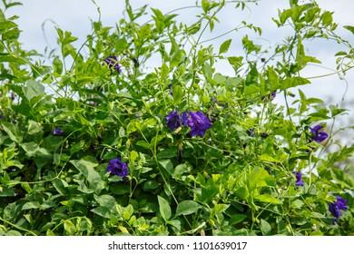 Butterfly Pea, Blue Pea, Asian pigeonwings, Clitoria Ternatea. Blue herbal tea.