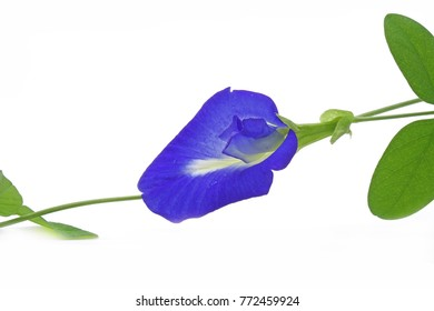 Butterfly Pea (Clitoria ternatea) , commonly know as Blue pea, Asian Pigeonwings, Bluebellvine, Cordofan pea and Darwin pea. Selective focus , isolated on white background.