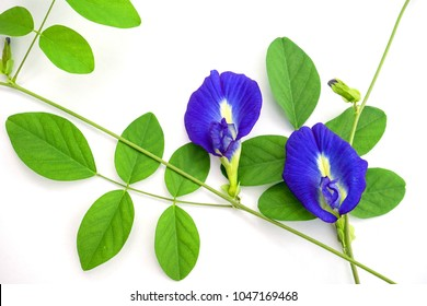 Butterfly pea flower isolated on white background.