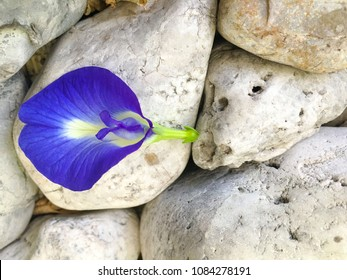 Butterfly pea flower on background white stone. This flower can coloring matter in Thai dessert having blue and purple color