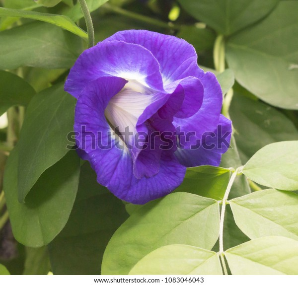 Butterfly Pea Herb That Provides Many Stock Photo (Edit Now ...