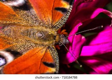 Butterfly Peacock Eye Macro