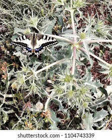 Butterfly perched on a thistle with very pointy leaves, The butterfly macaón ('Papilio machaon') is found in the richest gardens in species