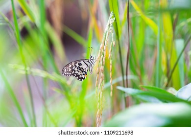 The Butterfly is perching on the rice plant