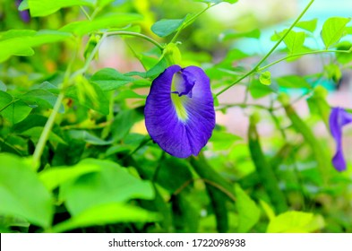 ButterFly Peu Blue Clitoria Ternatea in Garden