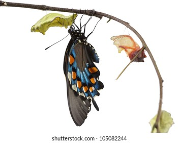 The Butterfly   Pipevine Swallowtail (Battus philenor) emerging from it's chrysalis