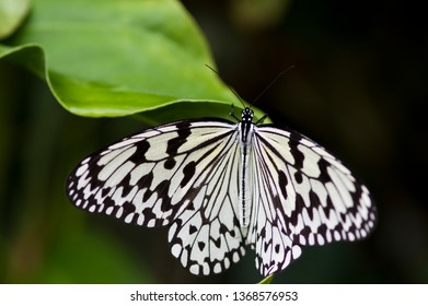 A butterfly and plant. English name is Tree Nymph Butterfly,Rice Paper butterfly. Scientific name is Idea leuconoe Erichson, 1834.
