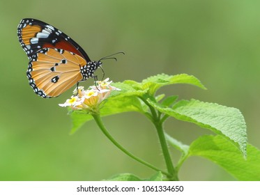 Butterfly Pollinating on a Monsoon Season