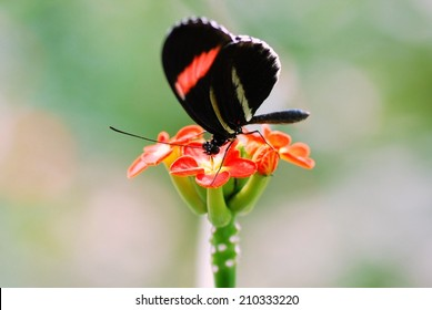A Butterfly (Postman) Sits Atop a Flower at the Butterfly House in Saint Louis