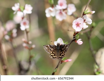 Butterfly Pyrgus on the branch of the cherry blossoms