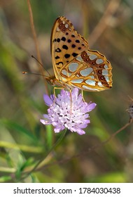 Butterfly Queen of Spain fritillary.(Issoria lathonia)
